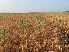 Peas at R7 (full maturity) near Virden at July 27, 2021.