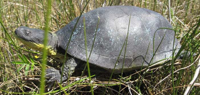 This is one of two Blandings turtle decoys being used in the ongoing investigation into the turtle deaths at Misery Bay.