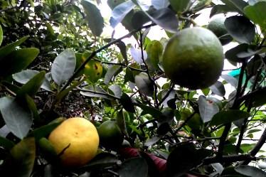 Ripe Lemon on the tree in my garden