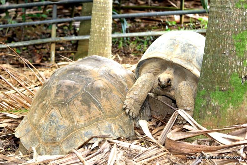 The Aldabra giant tortoise, Mauritius, Pictures