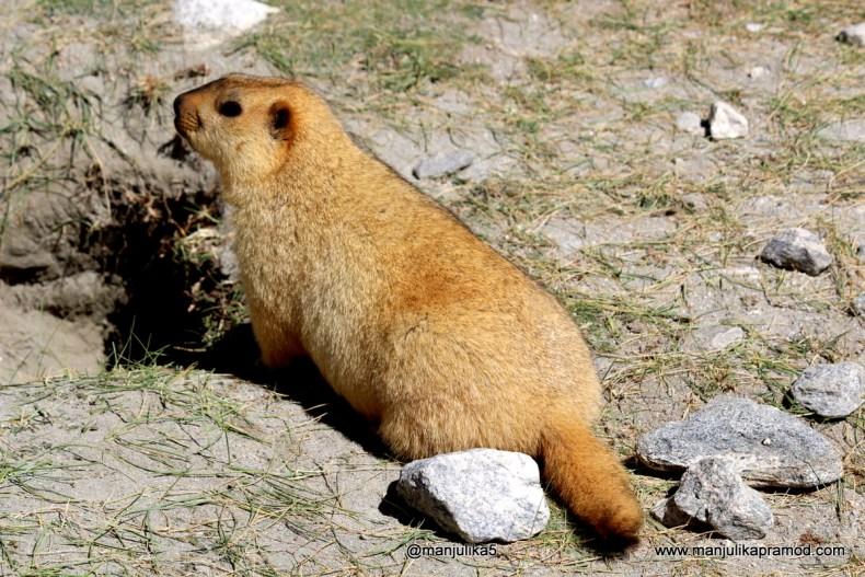 Marmot, Leh, Ladakh