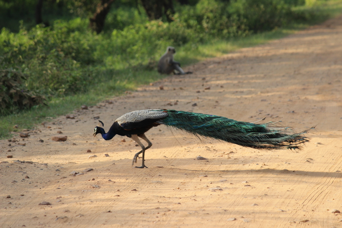 Peacock at Sariska National Park