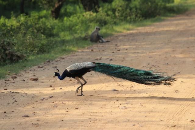Peacock at Sariska National Park