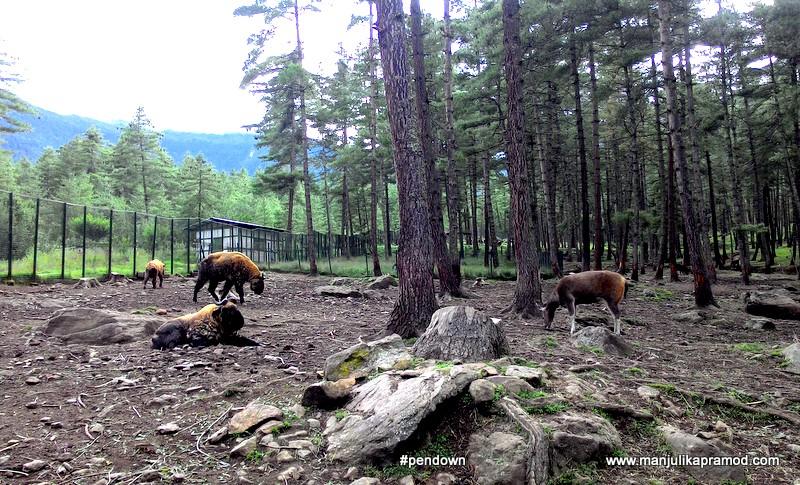 Takin, National animal of Bhutan