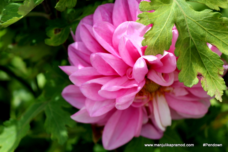 Pink flowers- Photography