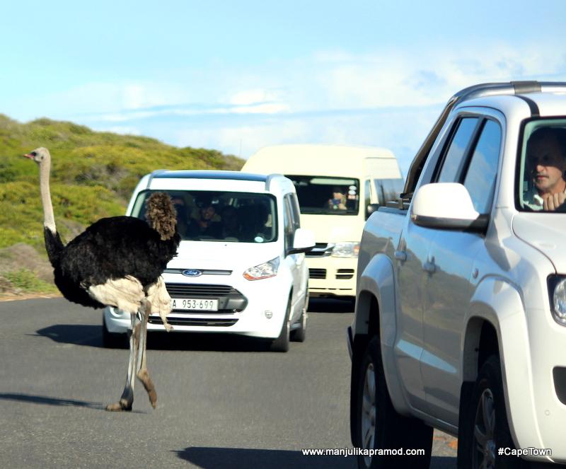 Ostrich Farm in Cape Town