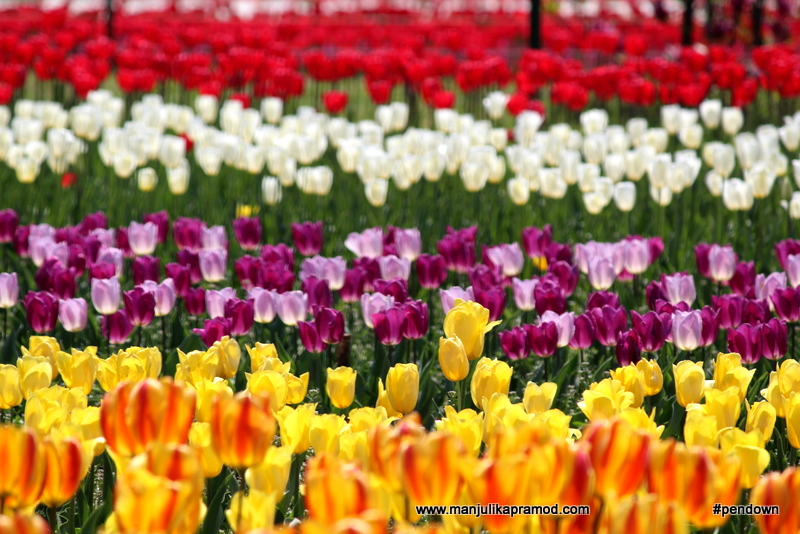 Tulip flowers, tulip festival in India