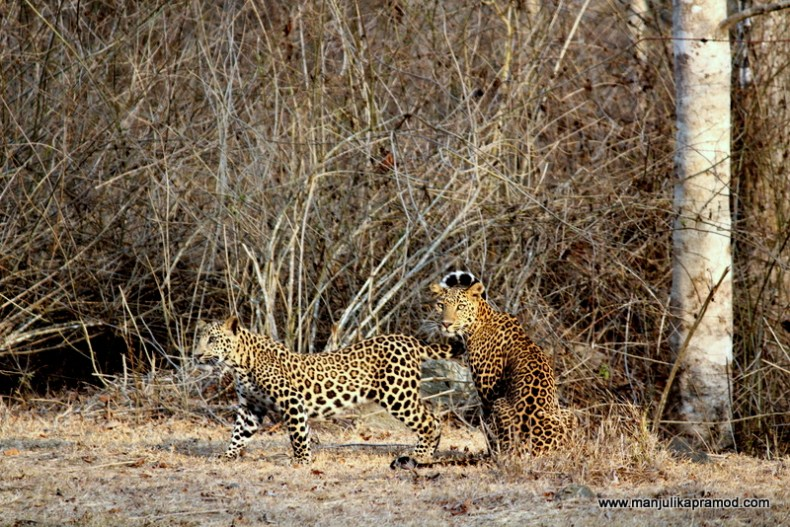 Spotted these two leopards at kabini