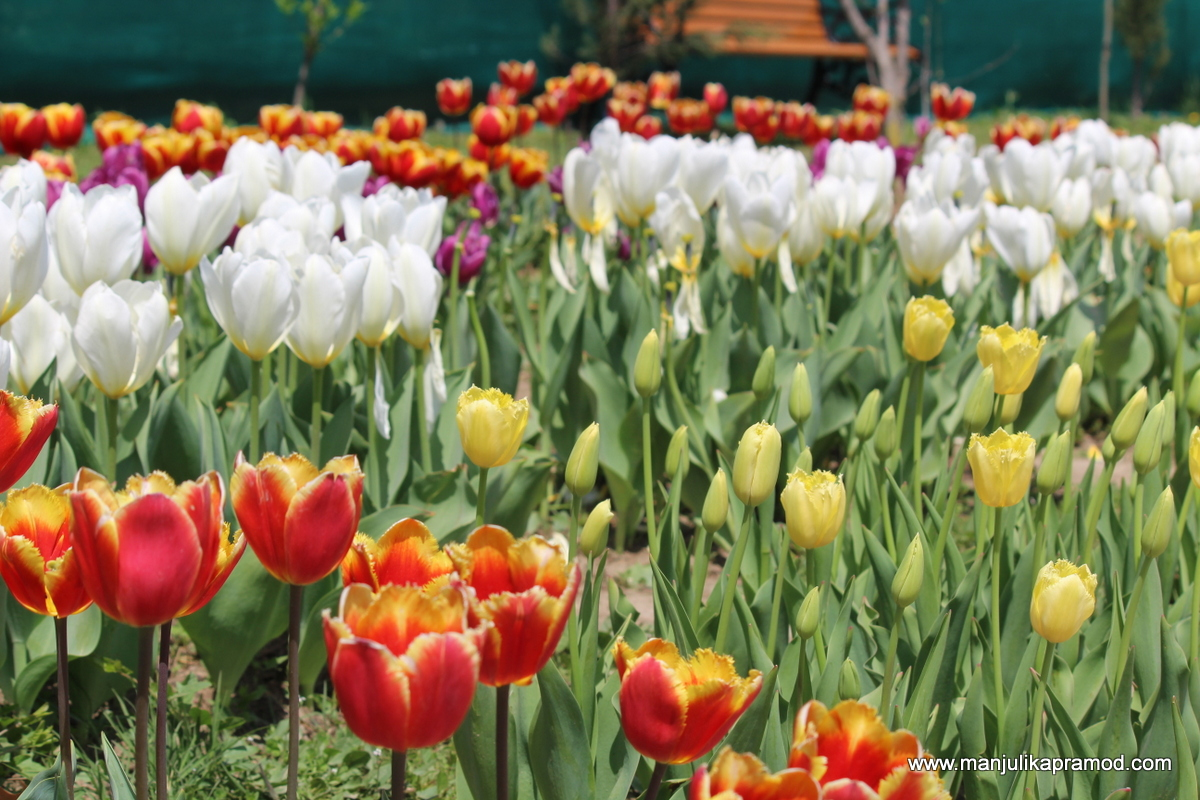 Travel, Kashmir,Tulips
