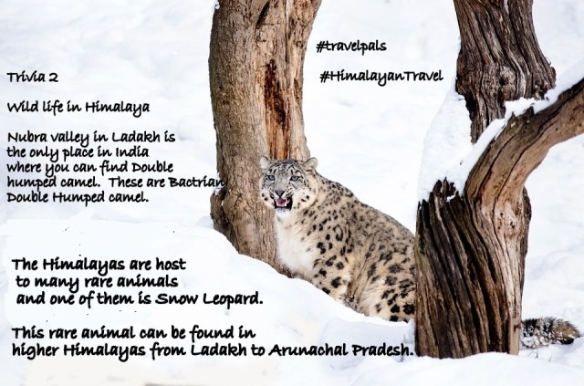 The Himalayas are host to many rare animals and one of them is Snow Leopard