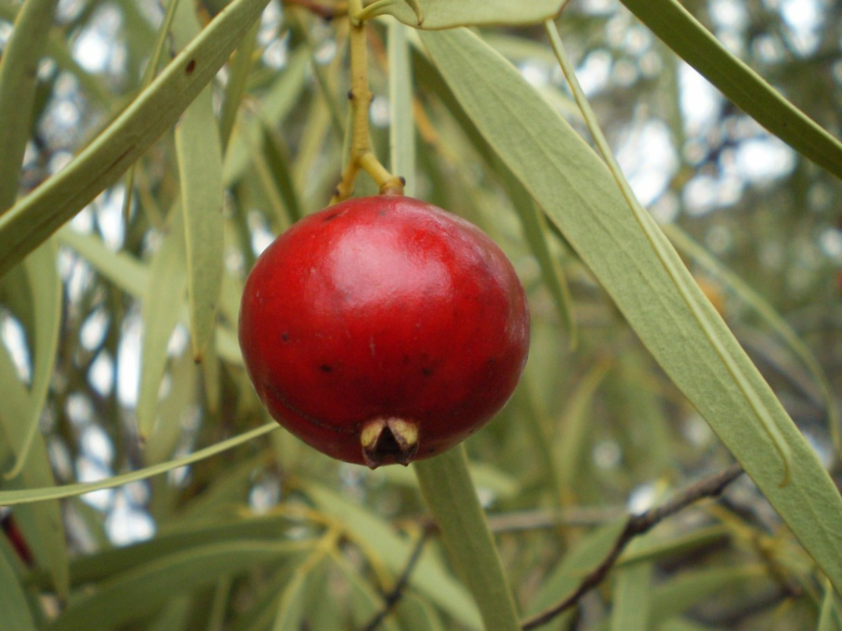 Quandong or native peach is one of Australia's native bush fruits.