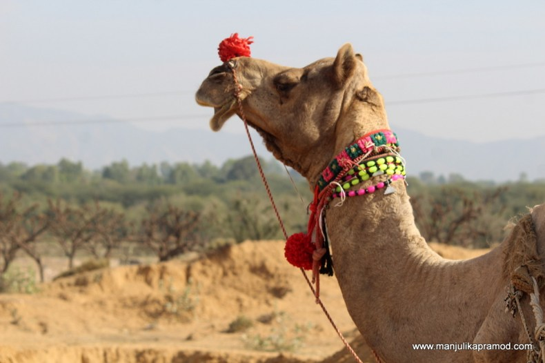 Camel cart ride in Rajasthan