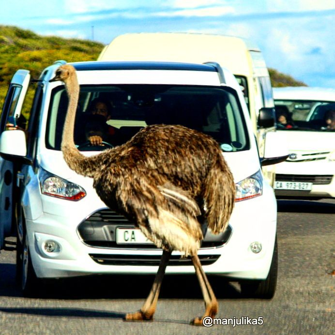 Ostrich on the road, Cape Town road tripping, Cape of Good Hope
