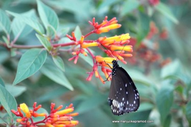 TITLI TYAR = Butterfly festival in Uttarakhand
