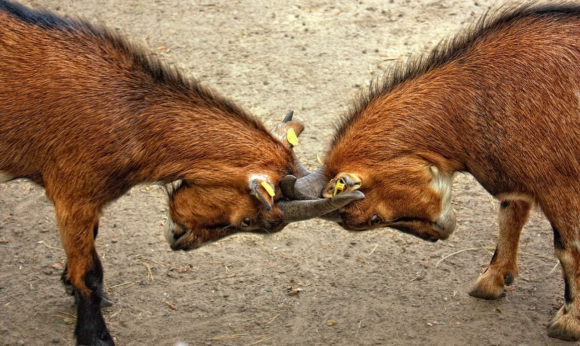 goats-173940_1280