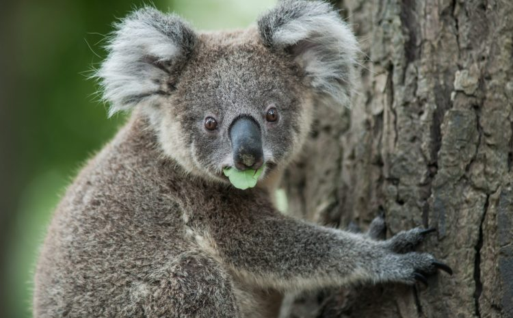 KOALA TREES IN THE MANNING AND GREAT LAKES AREA