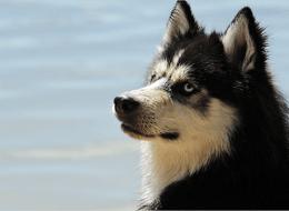 black and white husky dog