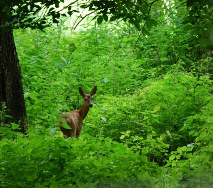 roe-deer-1000117_1280