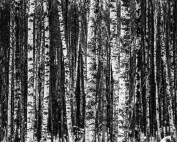 %name birch
