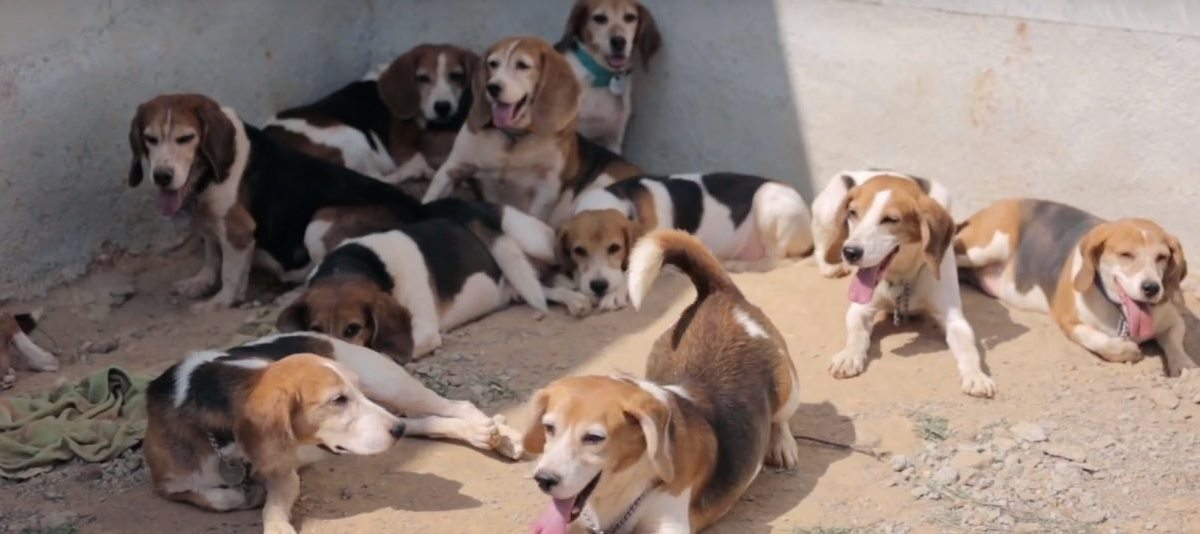 These Rescued Laboratory Beagles Are The Best Thing You'll See Today
