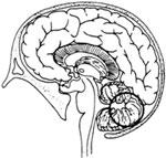 The brain organs