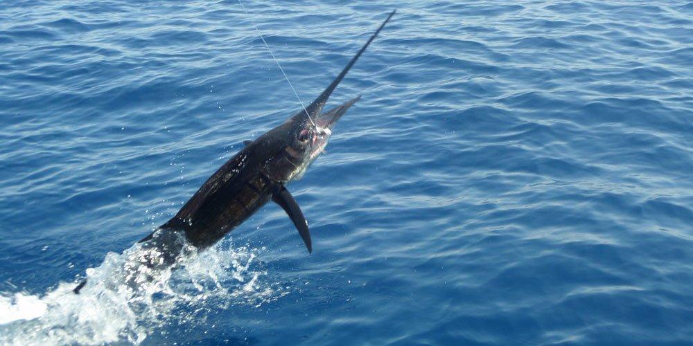Sail fish jumping
