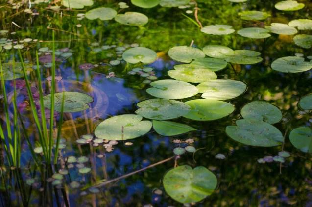 Teich mit Seerosenblätter