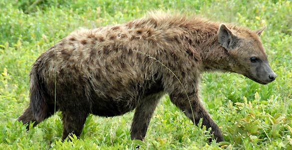 Hiena (FOTO: Wikimedia)