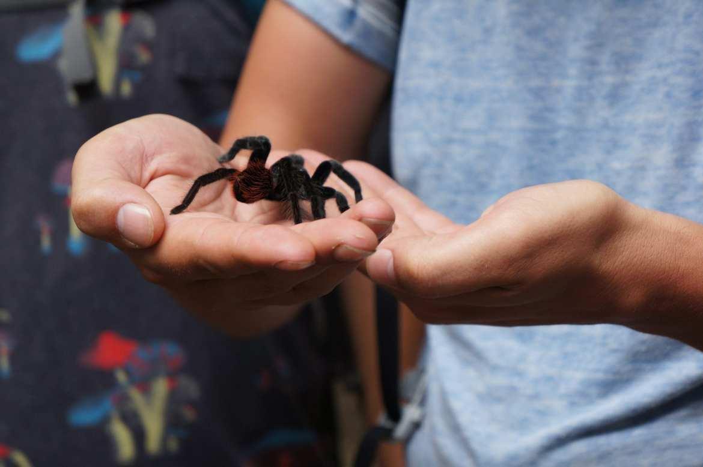 tarantula tikal