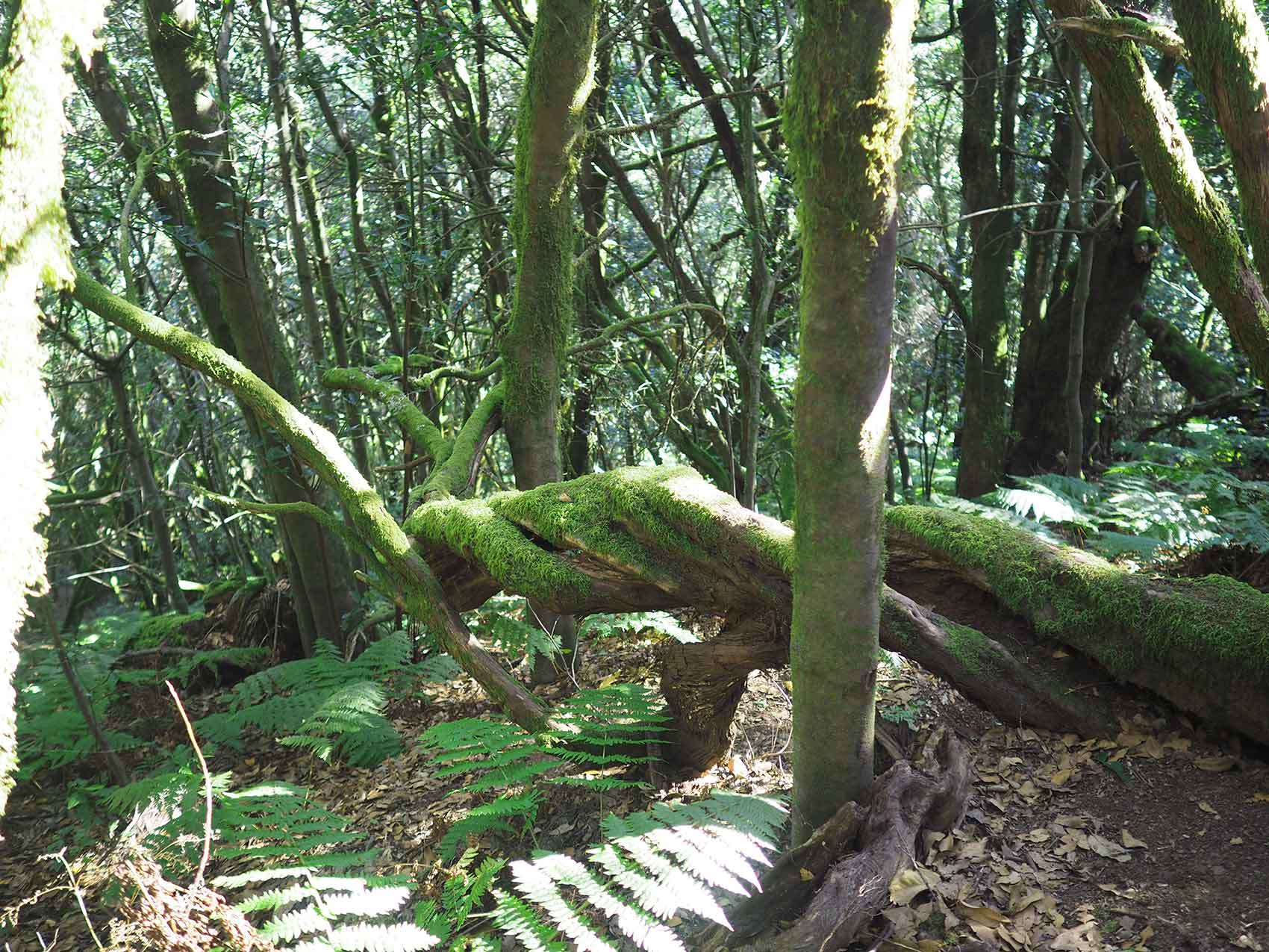 La laurisylve de l'île de La Gomera.