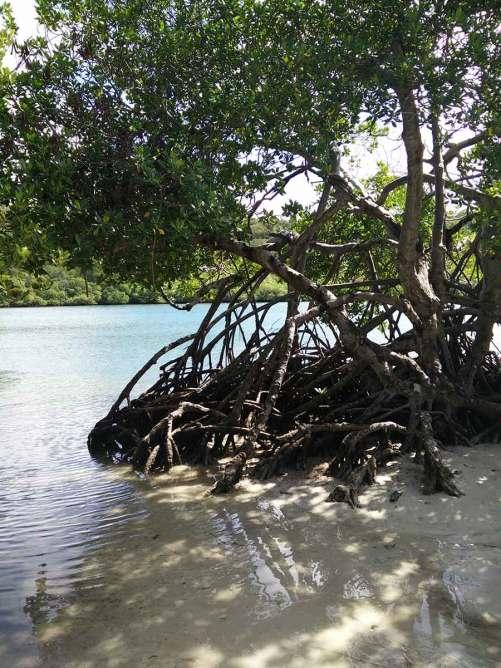 La mangrove à Trou Cochon, en Martinique.