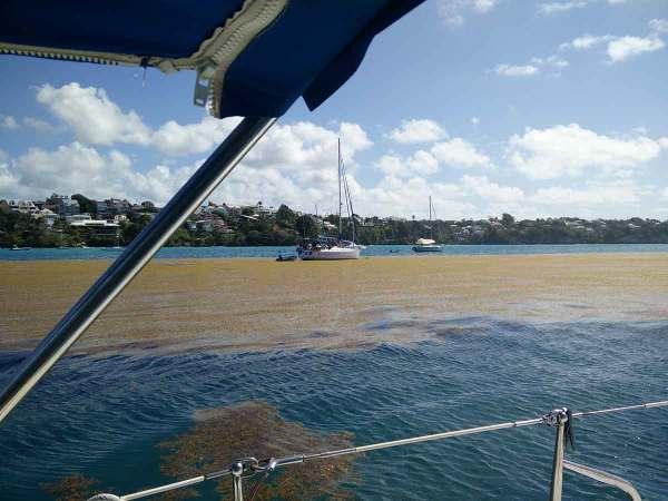 Sargasses sur les côtes du Gosier en Guadeloupe.