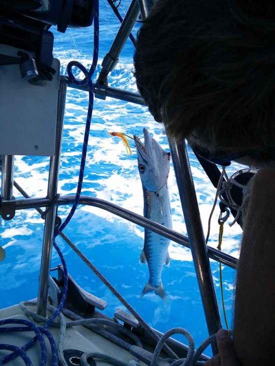 Barracuda pêché à la traîne aux BVI.