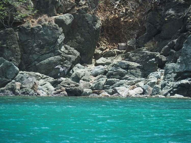Plongée de pélican au-dessus de l'eau sur Guana Island, île des British Virgin Islands.