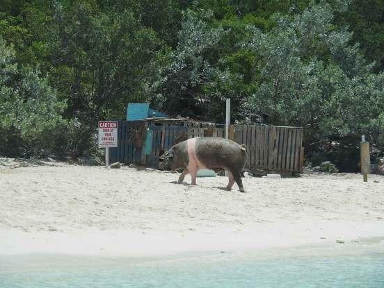 Cochon sur la plage de Big Major's Spot aux Bahamas.