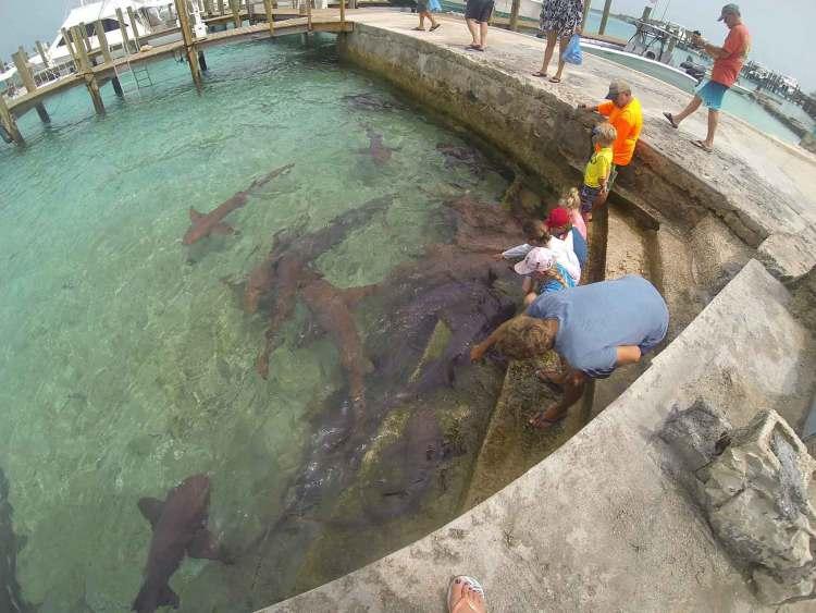 Requins nourrices dans la marina de Staniel Cay, aux Exumas, Bahamas.