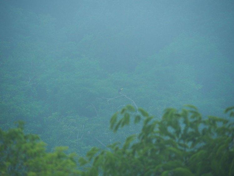 Un toucan dans la jungle au Guatemala, au coeur des ruines de Tikal.
