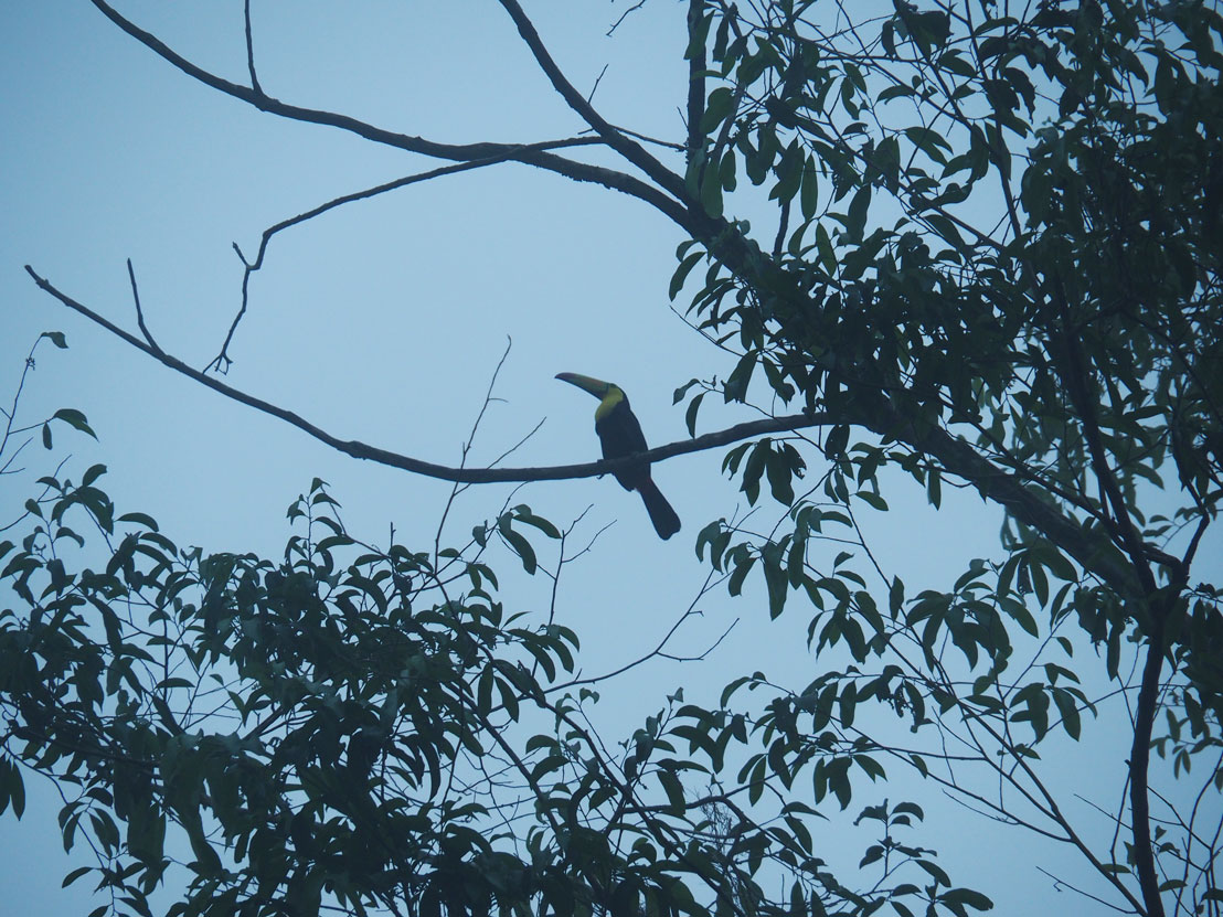 Toucan sur une haute branche aux ruines mayas de Tikal.