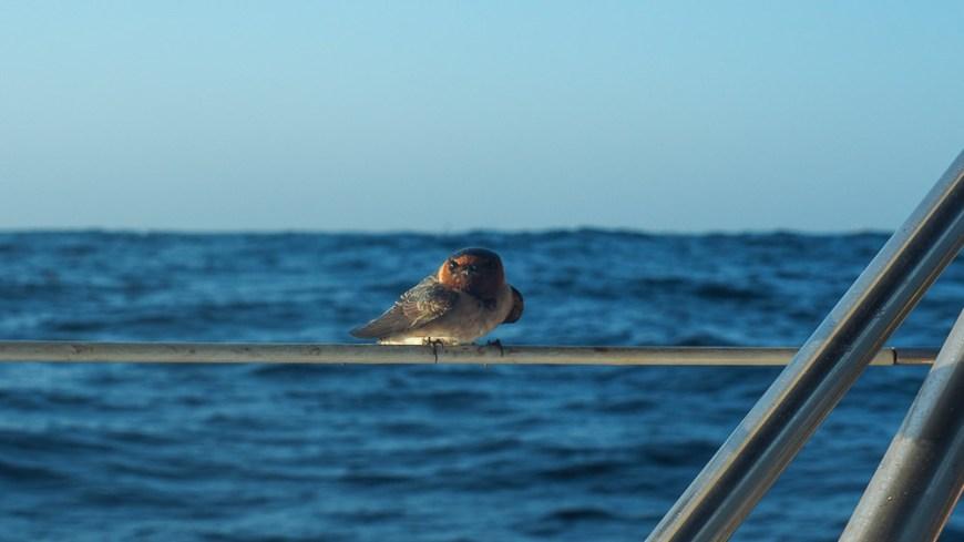 Petit oiseau venu se poser sur nos filières pendant la traversée du Pacifique.