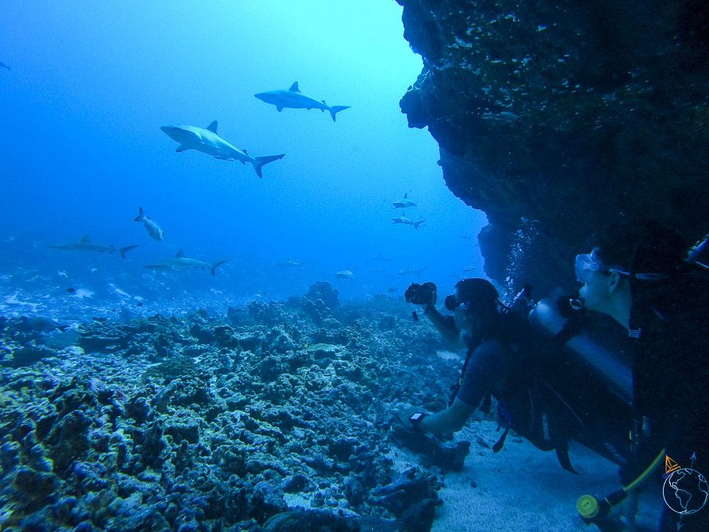Plongée sous-marine à la rencontre des requins gris de récifs à Fakarava.