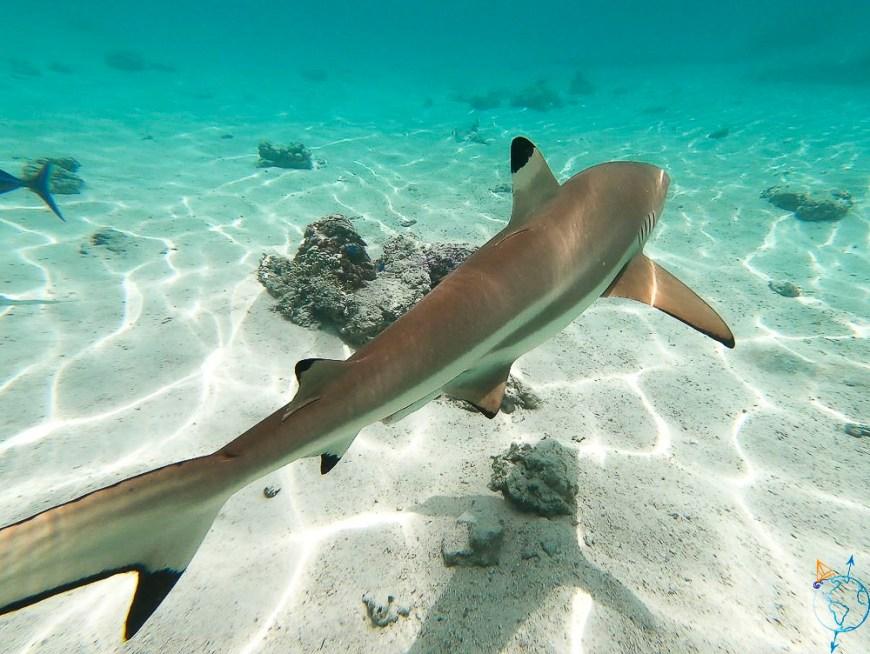 Requin pointe noire dans le lagon de Moorea.