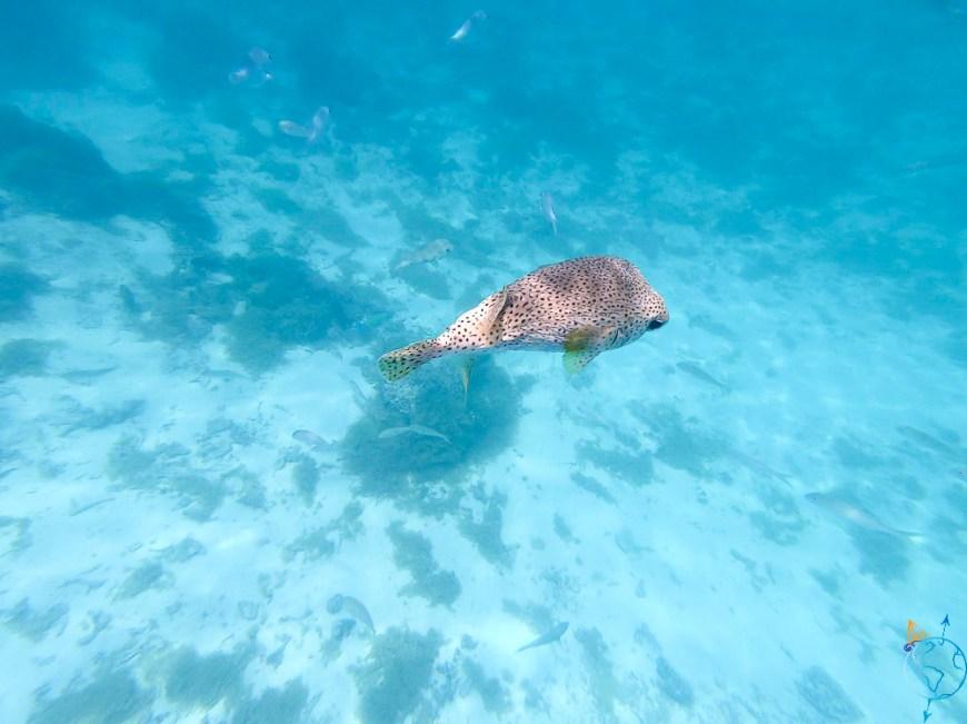 Un diodon nageant sous le bateau au mouillage, à Moorea.