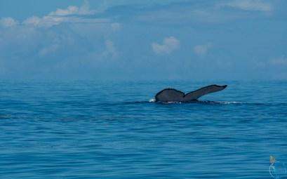 Nageoire caudale de baleine à bosse devant l'île de Moorea.