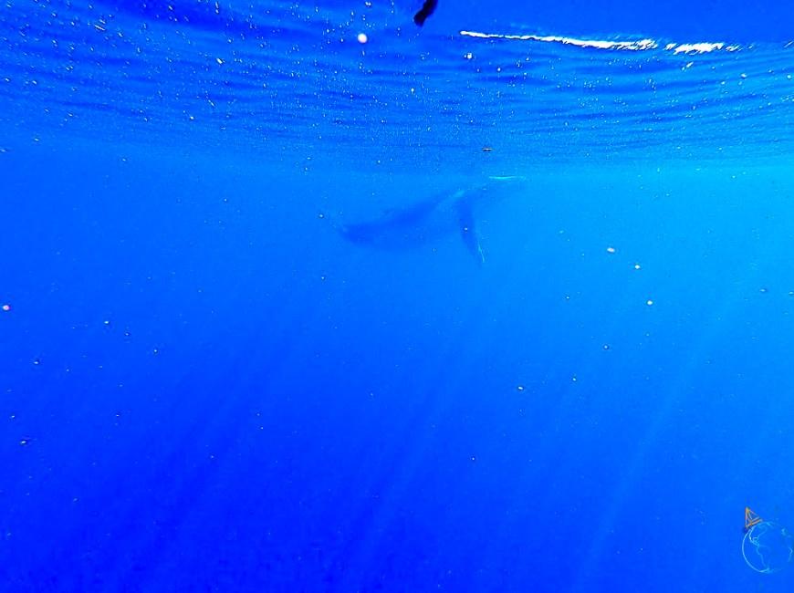 Le baleineau vu sous l'eau, dans le bleu de l'océan.