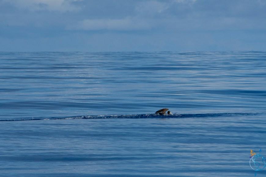Chasse fou brun contre poisson volant dans les eaux de Moorea.