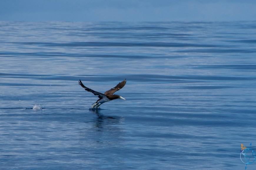 Fou brun qui décolle sur la mer.