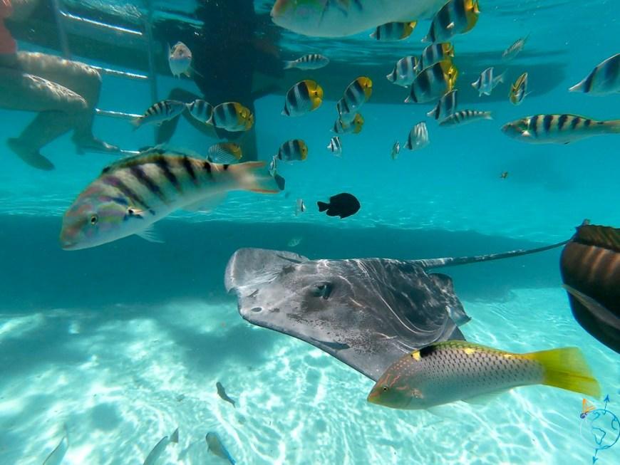 Raie pastenague et nombreux poissons dans l'eau transparente.