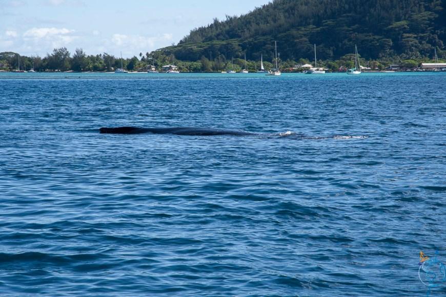 Baleine dormant dans la passe du lagon de Huahine.