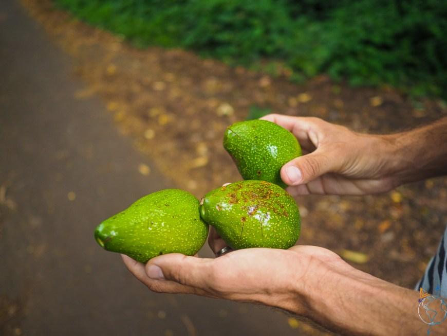 Avocats ramassés sur la route du Belvédère de Pirae à Tahiti.