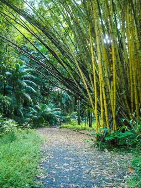 Bambou poussant près du sentier de visite.